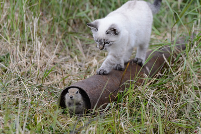 Ivan's kitten stalking arctic ground squirrel