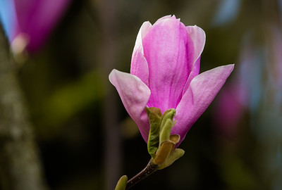 Pink Magnolia Tulip