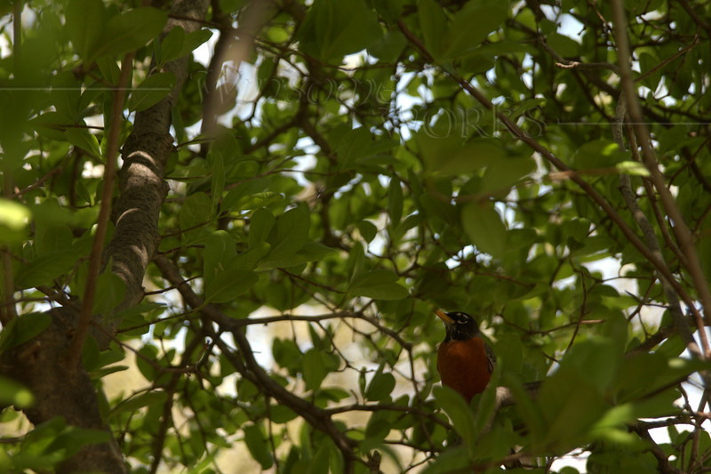 American Robin in tree at CD