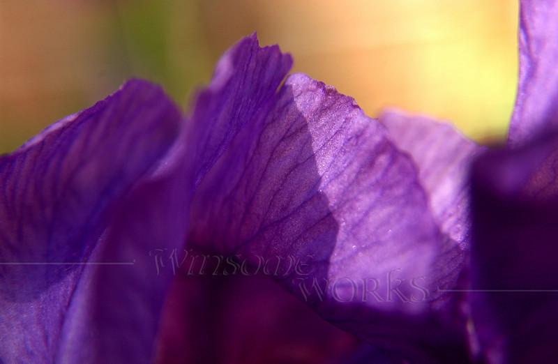 Purple bearded iris; Christopher Dock campus, PA