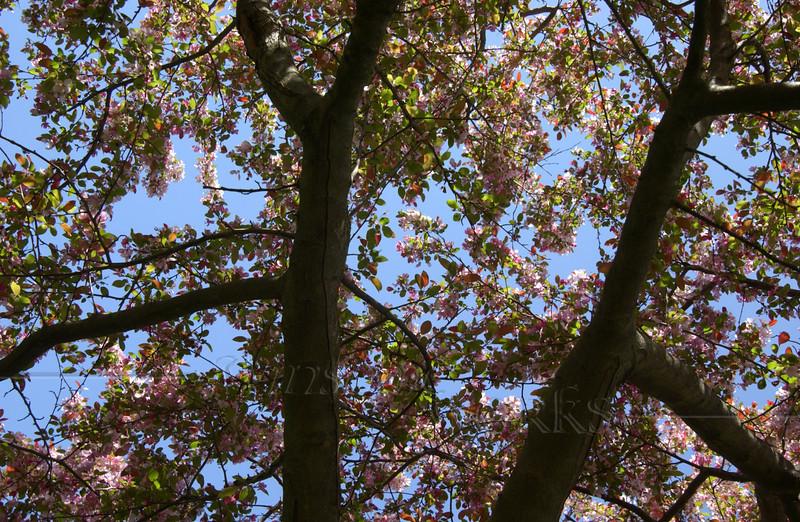 Crabapple tree (?) on CD campus