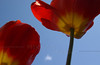 All the flowers seemed to be open at once to greet the Bäretswil Choir-- more tulips singing praise!
