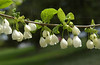 Styrax japonicus tree (?) with beautiful bell-like flowers on CD campus