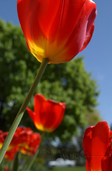 All the flowers seemed to be open at once to greet the Bäretswil Choir-- tulips singing praise