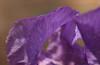 Purple bearded iris on CD campus Clemens Center Auditorium at CD