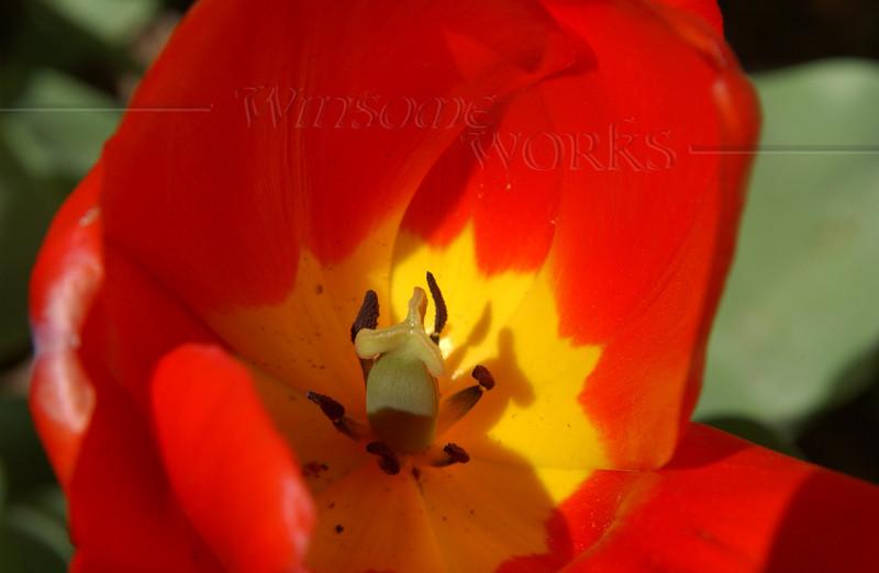 Tulip on CD campus