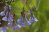 Virginia bluebells blooming near the E. branch of the Perkiomen Creek