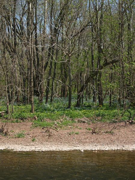 Virginia bluebells in woods, E. Branch of Perkiomen Creek, below the Ruth homestead