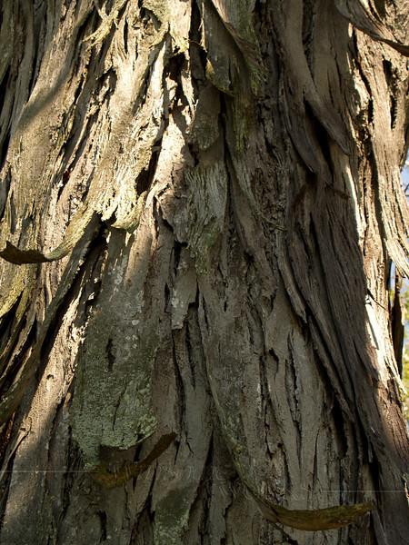 Bark of shag-bark hickory by the E. Branch of Perkiomen Creek