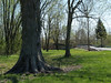 Huge old shag-bark hickory by the E. Branch of Perkiomen Creek