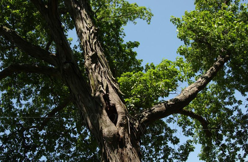 Huge old shag-bark hickory by the E. Branch of Perkiomen Creek