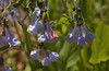 Virginia bluebells blooming near the E. branch of  the Perkiomen Creek