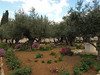 Garden of Gethsemane; these olive trees are traditionally said to be from the time of Christ (olive trees can live well over a thousand years).