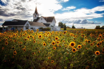 Sunflowers Foreground Fir-Conway Lutheran Church Sunlight Fall 9-12-18  Late summer - early fall day at this country church near Conway, Washington on Fir Island in the middle of farm land.