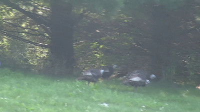 Wild female turkeys looking for breakfast on the temple grounds.