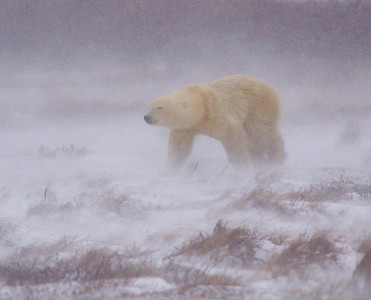First Polar Bear