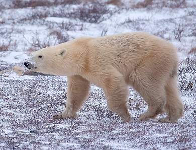 Thin bear is eager for the ice to form so he can hunt seals.