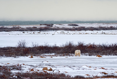 Polar bear yellowish fur actually stands out from the snow, making them easy to spot.