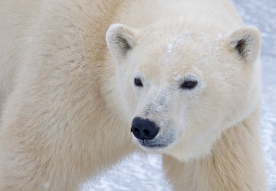 Polar bear fur is yellowish, not snow white.  Their skin is black and so is their tongue.