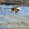 DSC_6195 w Red Fox