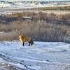 DSC_6186-3w Red Fox