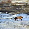 DSC_6196 w Red Fox