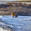 DSC_6189-3w Red Fox