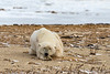 Large male polar bear sleeping on the beach after coming in off the ice, Bird Cove, Churchill, Hudson's Bay, Manitoba