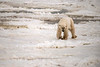 A thin male polar bear testing the offshore ice at freeze-up, Churchill, Manitoba