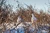 Pair of willow ptarmigan (Lagoopus lagopus) in winter in willow bushes, Churchill, Manitoba