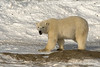 Polar bear on shore ice with open mounth and catchlight, Hudson's Bay, Churchill, Manitoba
