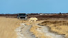 Polar bear claims right of way over SUV on dirt road, Hudson Bay shoreline, Churchill, Manitoba