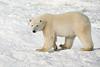 Polar bear walking on snow and ice, Hudson's Bay, Churchill, MN