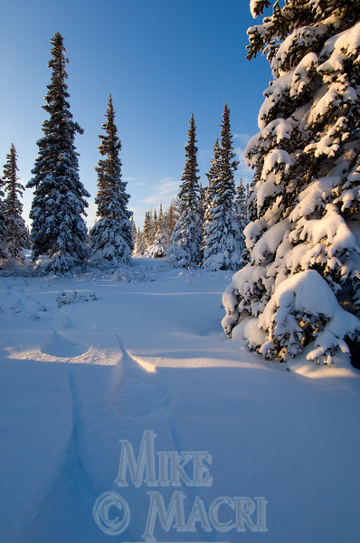 Snowshoeing boreal forest.
