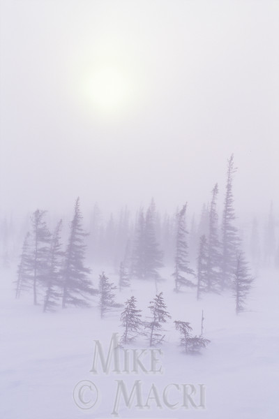 Taiga blizzard, Available through Masterfile