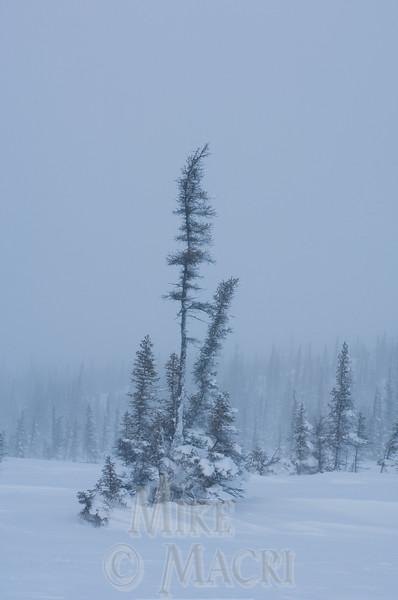 Taiga blizzard