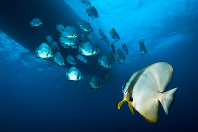 Batfish off the Hoki Maru