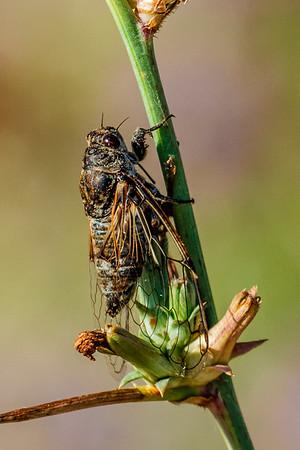 Cicada sp. - Cikade sp.