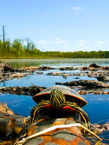 Turtle Landscape_24x32