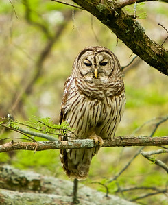 Barred_Owl-002_18x22