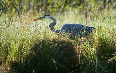 Grey Heron Hunting, 2004