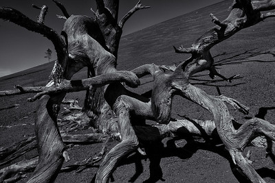 Volcanic Trees Of Sunset Crater