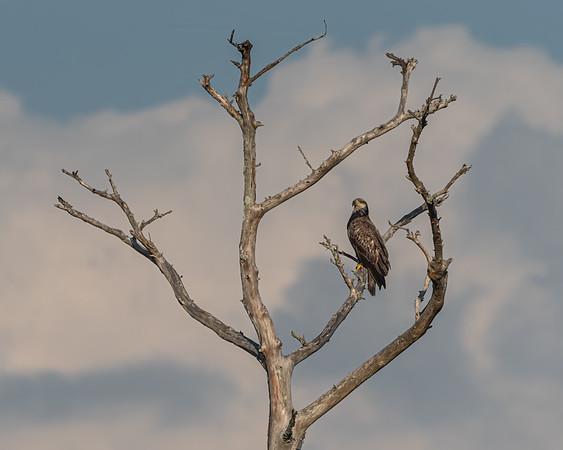 Juvenile Bald Eagle Lookout