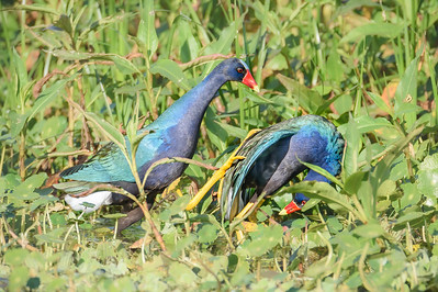 Submission of 2nd Male Purple Gallinule