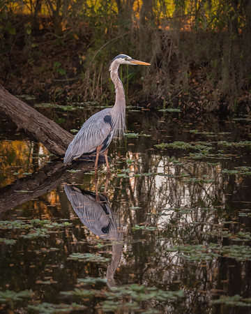 Reflections of the Great Blue Heron