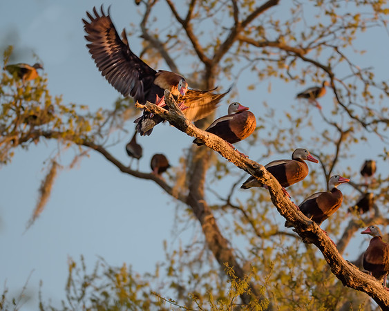Whistling Duck Perch