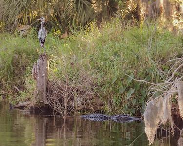 Gator & his Great Blue Heron