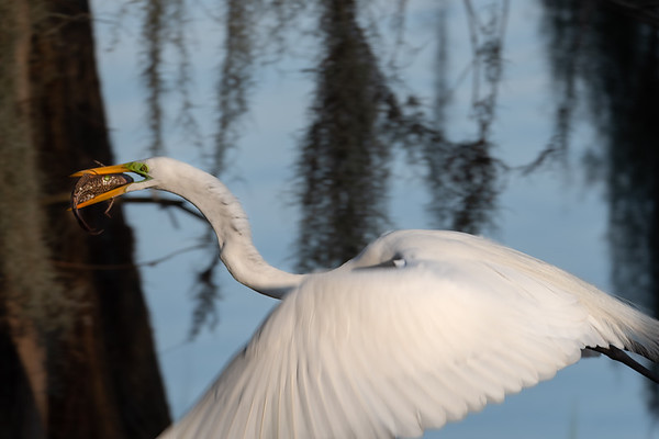 Great Egret with Fish Getaway