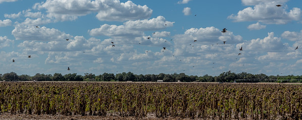 White winged dove swarming dried sunflowers