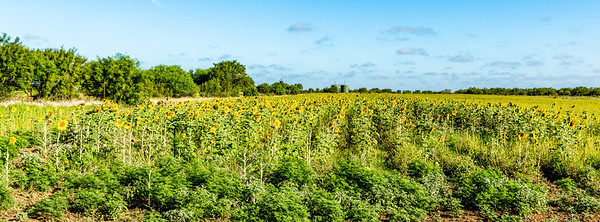 """Pipeline"" sunflowers"